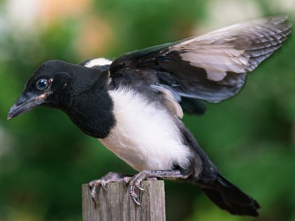 Increased magpie attacks on cyclists in Adelaide